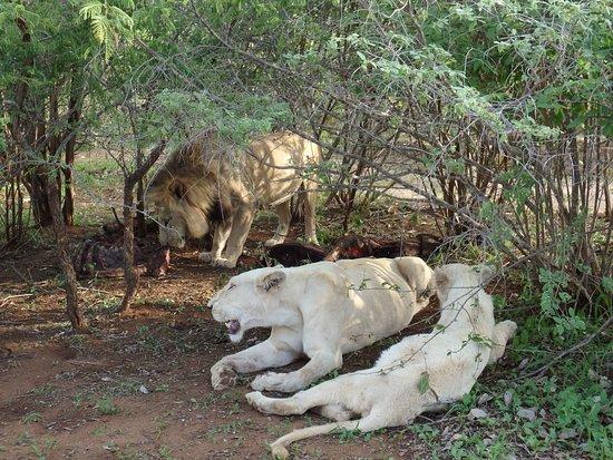 Elandela Private Game Reserve: White lionesses