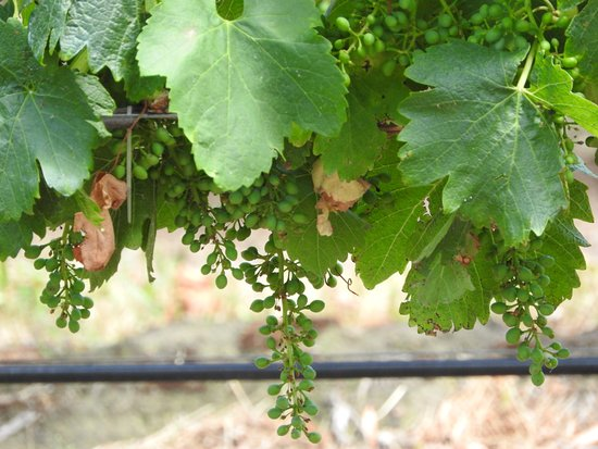 Australian Wine Tour Company: The grapes just starting to develop (Yarra Valley)