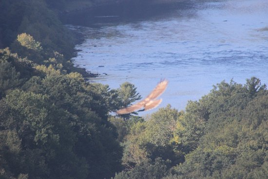 Barryville, Nova York: Red Tailed Hawk flying over the river - view from the grounds