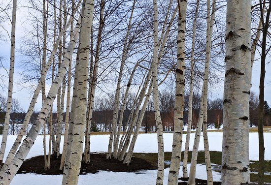Fair Haven, Estado de Nueva York: The magical white birch forest at Colloca Estate Winery is where wishes come true
