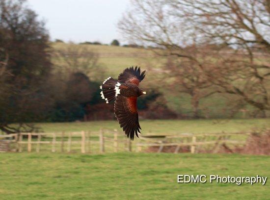 Essington, UK: Nigels Harris Hawk in flight in South Staffordshire.