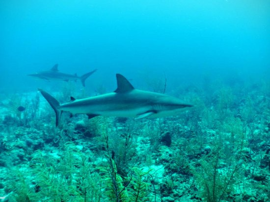 New Providence Island: Excellent shark encounters