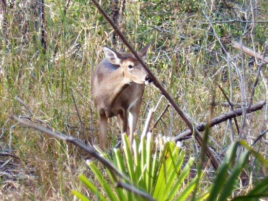 Ocklawaha, FL: White tail