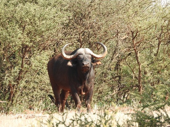 Northern Cape, Afrika Selatan: Büffel