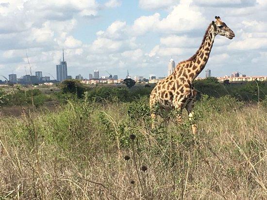 Nairobi National Park: IMG-20161130-WA0018_large.jpg