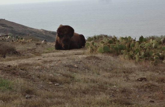 Cape Canyon Expedition: Lone Male Buffalo