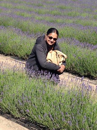 Mackenzie District, New Zealand: Beautiful lavender farm