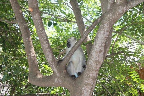 Marloth Park, Sydafrika: Ape in the garden