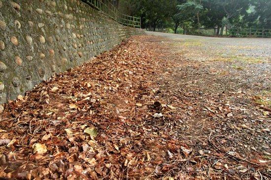 台灣新竹縣:滿地枯葉也成一幅景觀