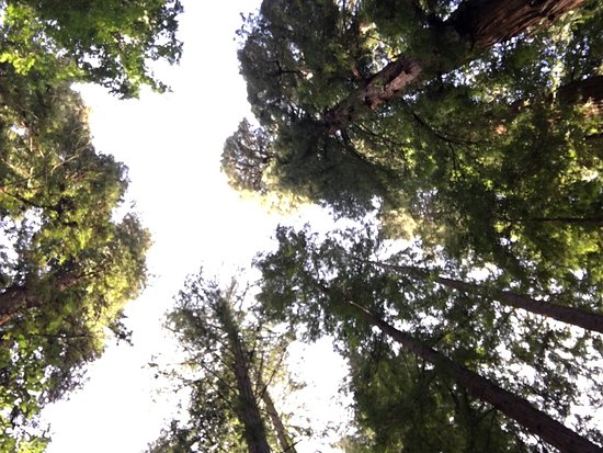 Henry Cowell Redwoods State Park: photo2.jpg