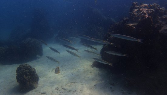 Scuba Diving Pattaya: Lovely school of Yellow Tails