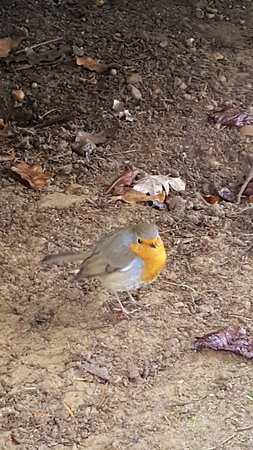 Chelmsford, UK: A friendly robin to great us near the duck pond.