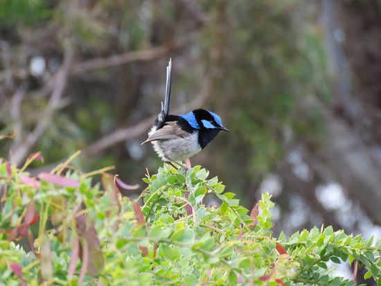 Little Swanport, Australia: Superb Fairy Wren in the garden