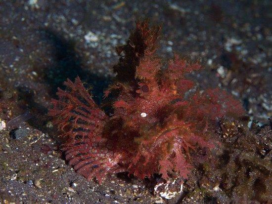 Underwater Tribe: Rhinopias