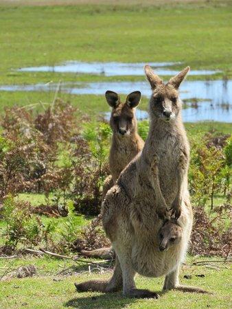 Ταζμανία, Αυστραλία: Forester (Eastern grey) kangaroo