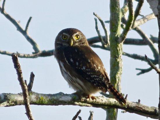 Rio Lagartos Adventures: Ferruginous Pygmy-Owl