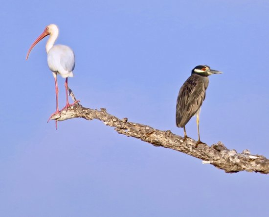Rio Lagartos Adventures: White Ibis and Yellow-crowned Night Heron
