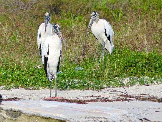 Rio Lagartos Adventures: Wood Storks