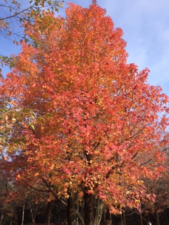 Iruma, Nhật Bản: 紅葉した木々