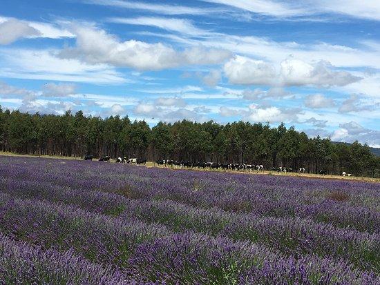 Bridestowe Lavender Estate: photo1.jpg