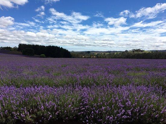 Bridestowe Lavender Estate: photo3.jpg
