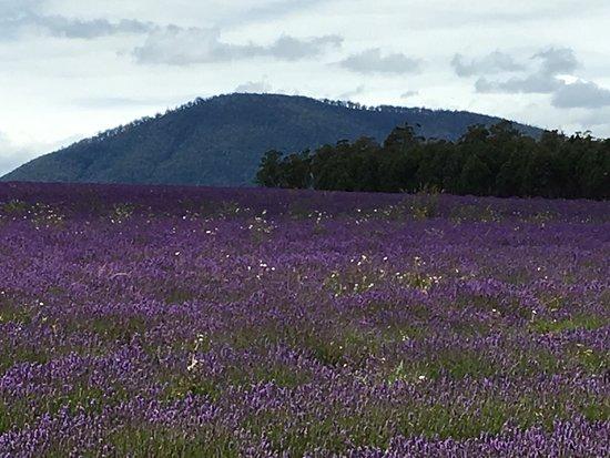 Bridestowe Lavender Estate: photo4.jpg