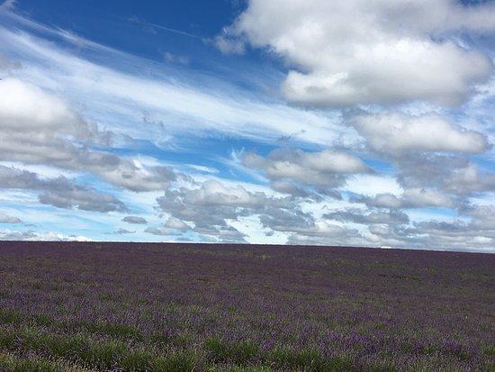 Bridestowe Lavender Estate: photo6.jpg