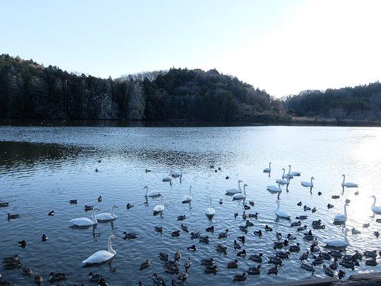 Naka-cho, Japon : 古徳溜池、白鳥がいっぱい