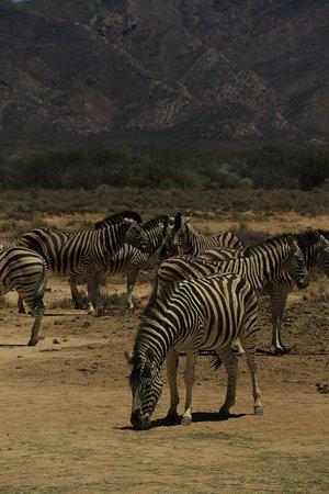 Inverdoorn Game Reserve : Zebras