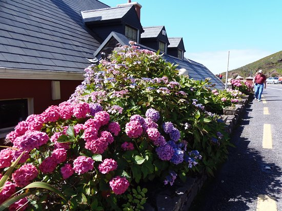 Hydrangea greet patrons at Scarriff Inn Restaurant along the Ring of Kerry Road, Caherdaniel