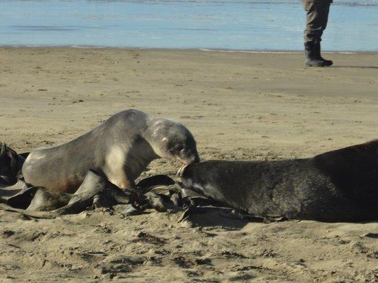 Cannibal Bay: sea lions
