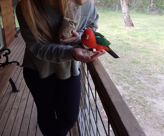 Bambra, Australia: Some of the local birds will eat from your hand on the cabin porch!