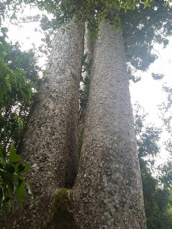 Coromandel Peninsula, New Zealand: Siamese Kauri Tree(s)