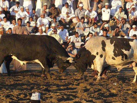 Barka Bull Fight Arena