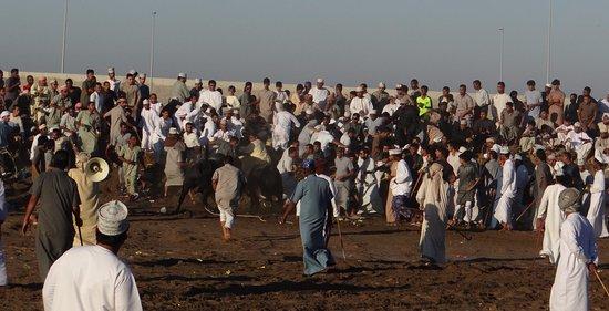Barka, Oman: bull fight al masnaah