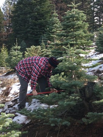 Snowy Peaks Tree Farm: Saws provided but you can bring your own - Easy With Small Children - Picture Of Snowy Peaks Tree Farm