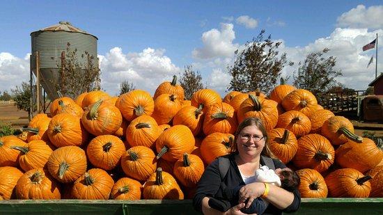 Wheatland, CA: pre picked pumpkins