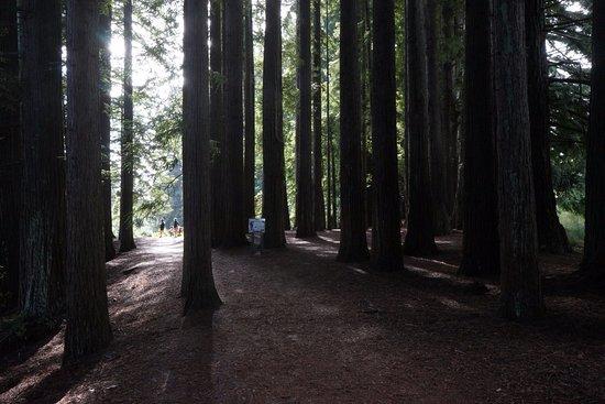 Hamurana, Nieuw-Zeeland: Redwood grove