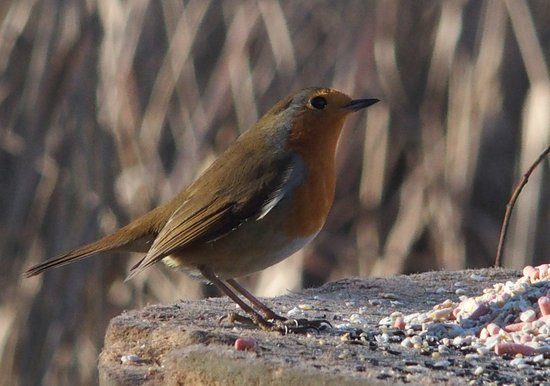 Purfleet, UK: Christmas Robin