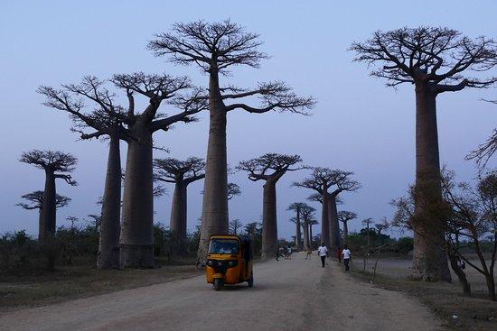 Morondava, Μαδαγασκάρη: Baobab-bos