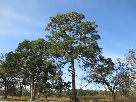 Bastrop, TX: Beautiful Loblolly Pines once were everywhere.