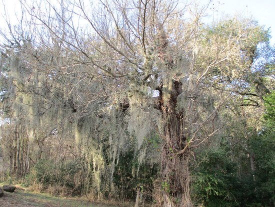 Smithville, Teksas: There is Spanish Moss in a lot of the oak trees.