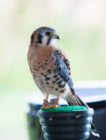 Wilson, WY: Female Kestrel (Teton Raptor Center)