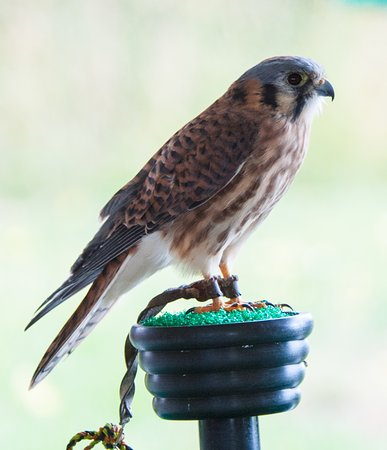 Wilson, WY: Male Kestrel (Teton Raptor Center)