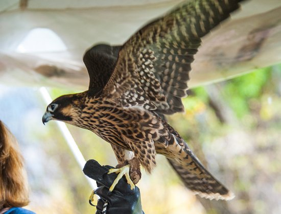 Wilson, WY: Peregrine Falcon (Teton Raptor Center)