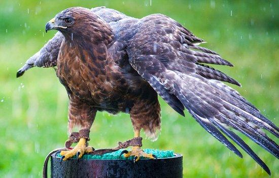Wilson, WY: Red Tailed Hawk (Teton Raptor Center)