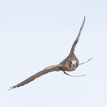Mayfield, UK: Perlin Falcon flying forwards us!