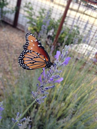 "‪‪Willcox‬, ‪Arizona‬: Local butterfly enjoying a ""taste"" of our lavender.‬"