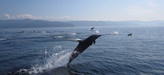 Cabinas Jimenez Golfo Dulce Boat Tour: Dolphins jumping all around us