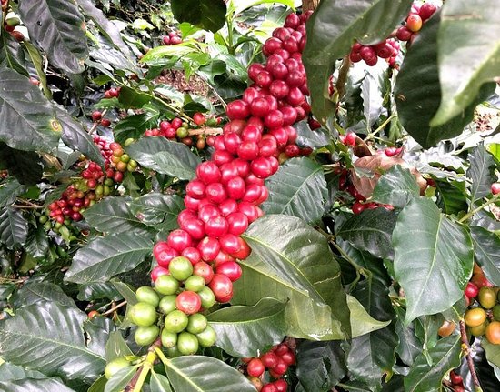 Las Acacias Coffee Farm